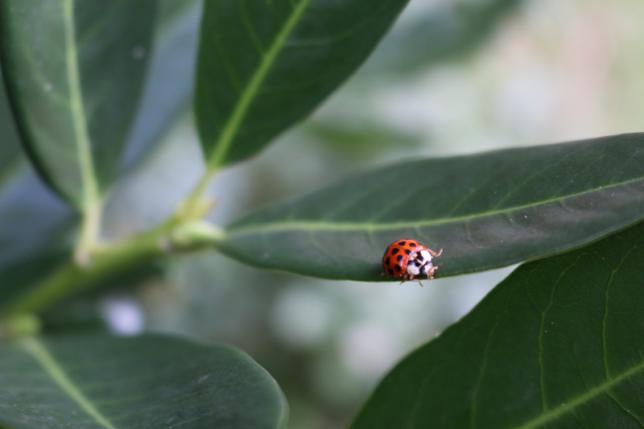 Glückskäfer auf grünen Blättern. Symbol für Gesundheit und Lebensglück.