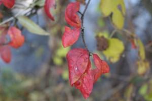 rote Blätter2